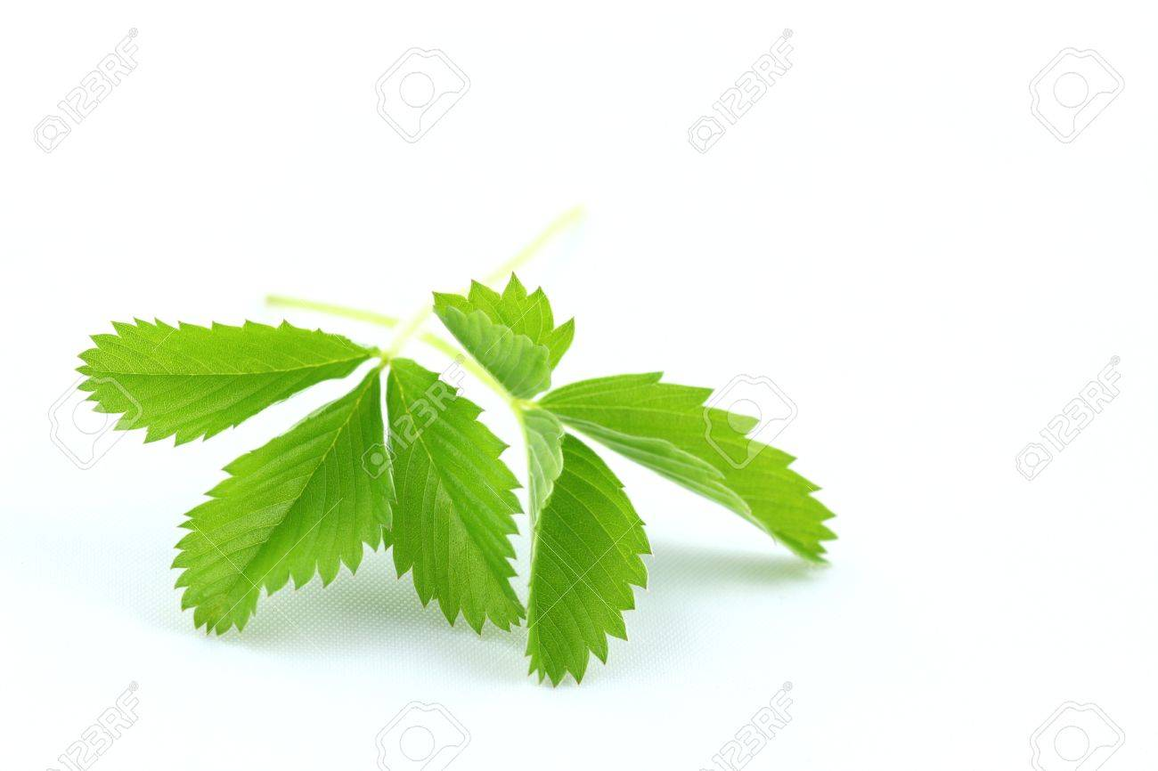 Wild strawberry Fragaria vesca leaves isolated over white Stock Photo - 14609631