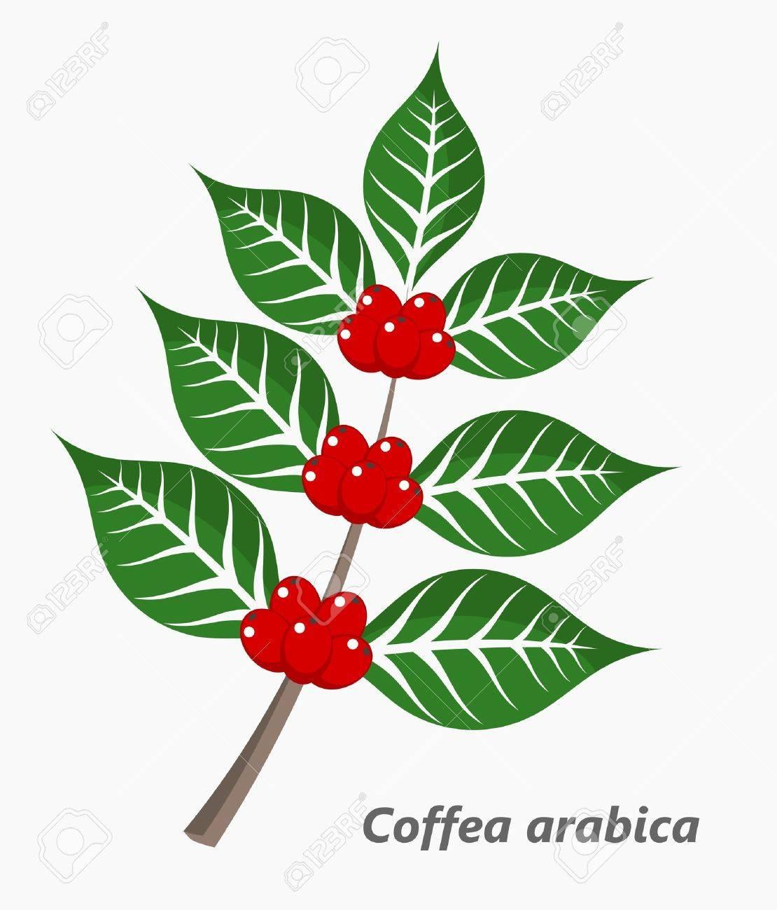 planta de café ilustración vectorial ilustraciones vectoriales