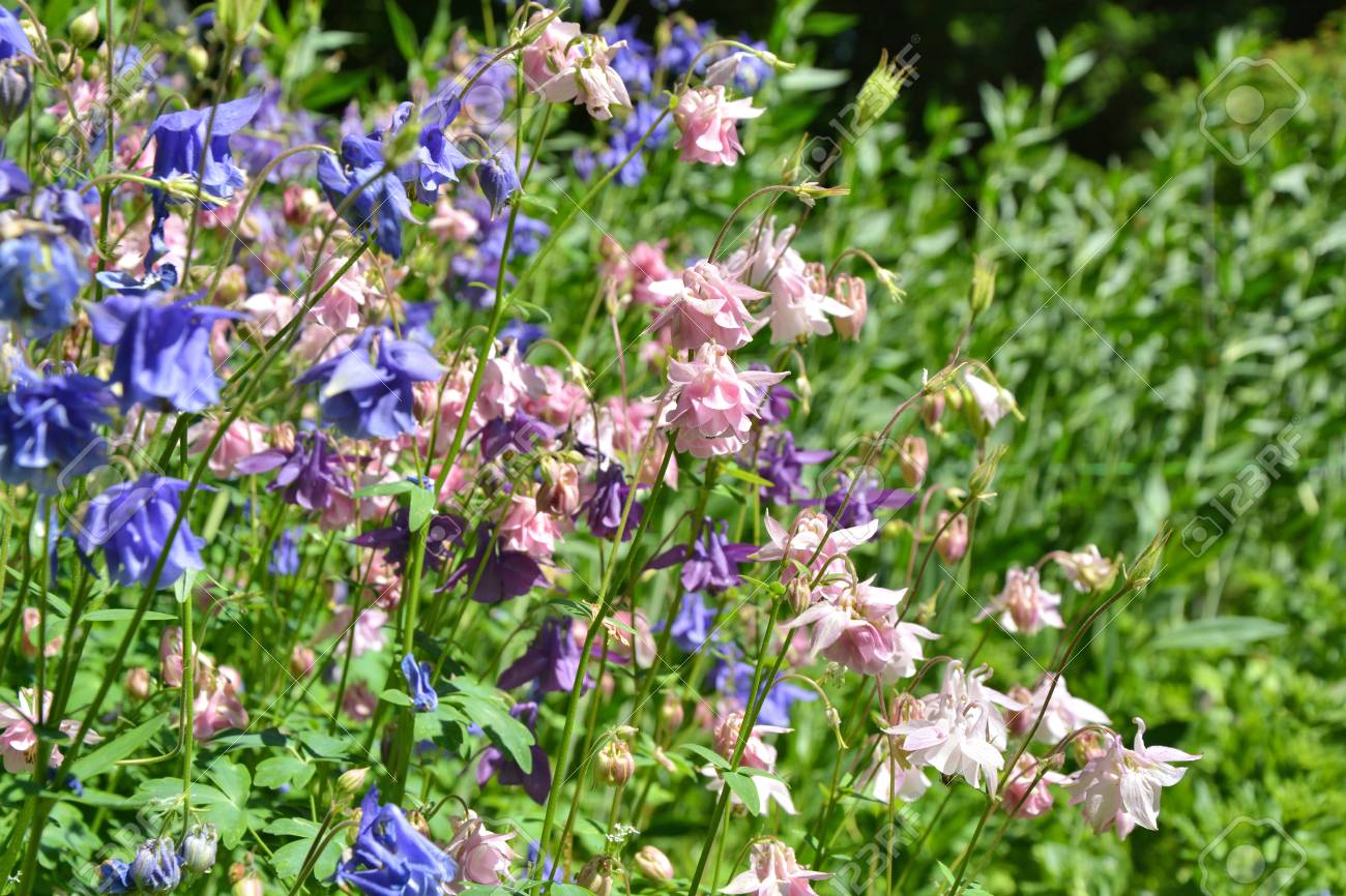 Pink And Blue Columbines Flowers Growing In The Garden Stock Photo