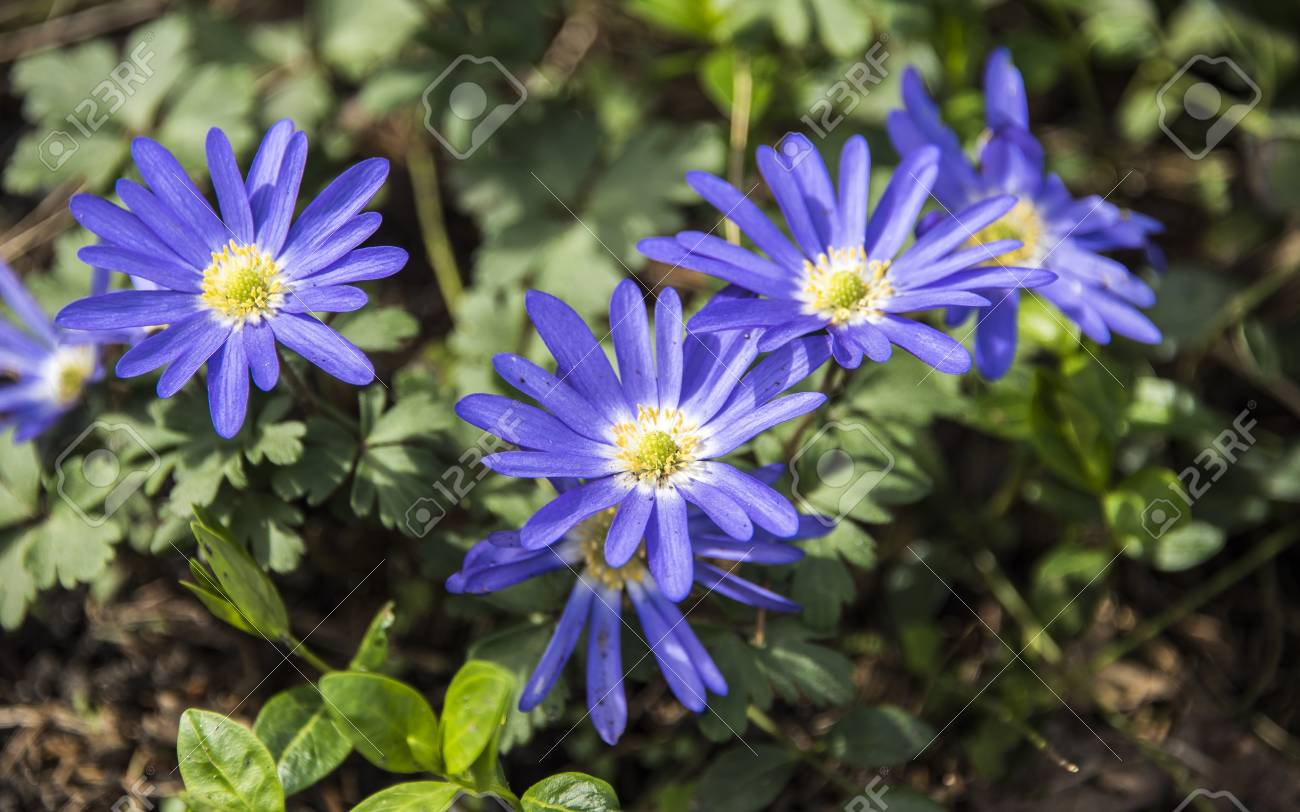 Six Blue Flowers With White To Yellow Centers Bloom Facing Upwards