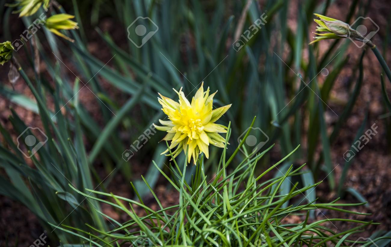 Yellow flower with spikey leaves blooms in the middle of tall stock photo yellow flower with spikey leaves blooms in the middle of tall green grass beside two same flower buds starting to bloom with slight sunlight mightylinksfo