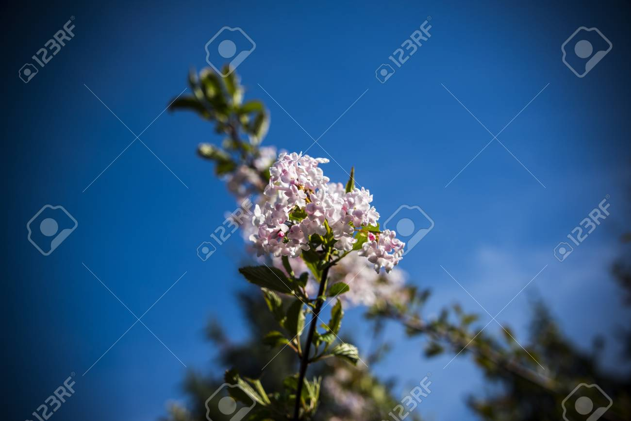Soft Focus Of Baby Pink Clouds Blooming Off The Stem Of A Tree ...