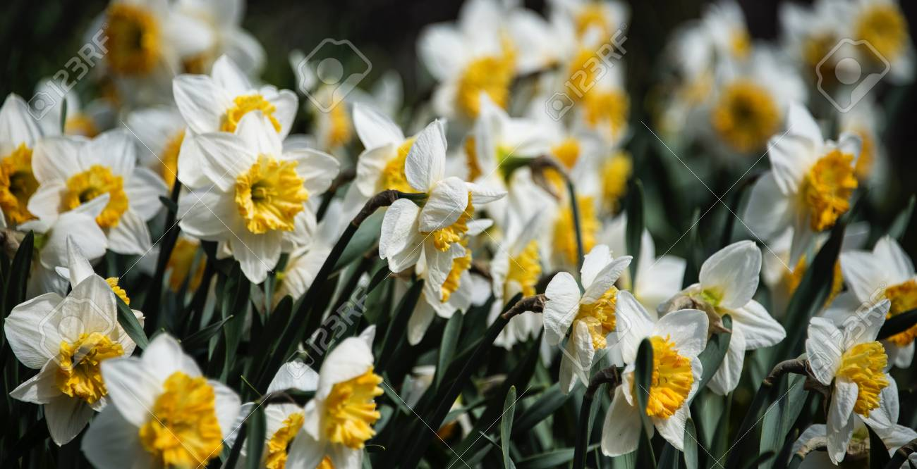 Cute White Flowers Bloom With Yellow Center Leaves Blooming Together