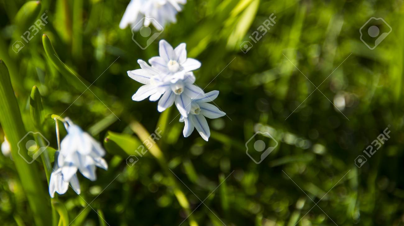 Small white flowers stand out amongst fresh green garden grass small white flowers stand out amongst fresh green garden grass stock photo 77211546 mightylinksfo