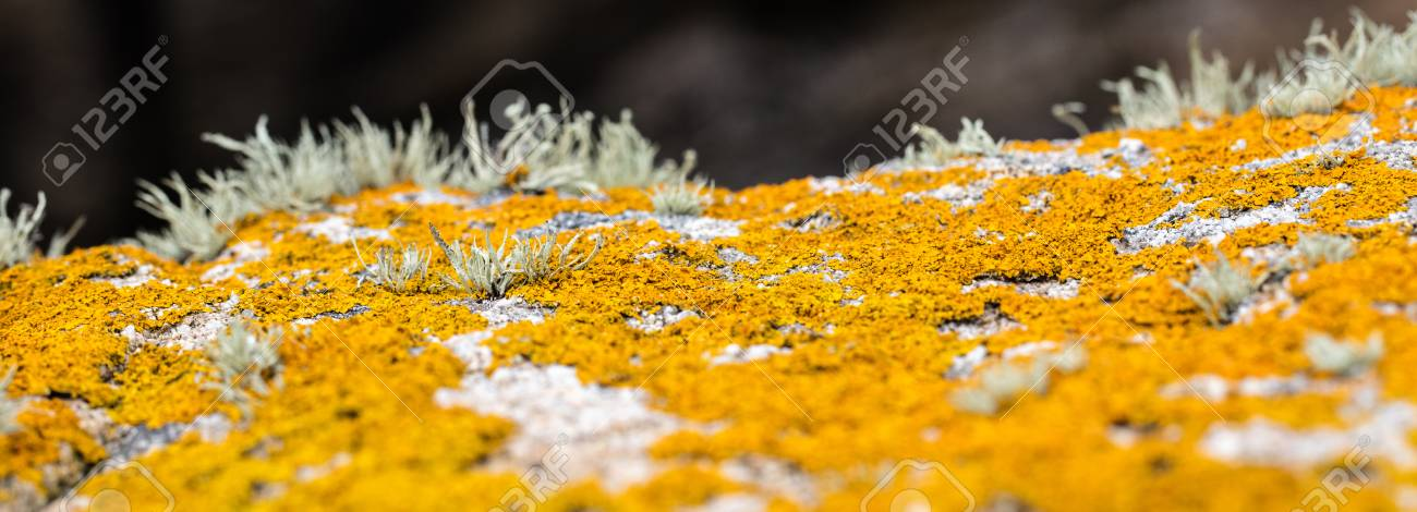 Panoramic View Of Mustard Yellow Lichen Or Moss Growing On Gray
