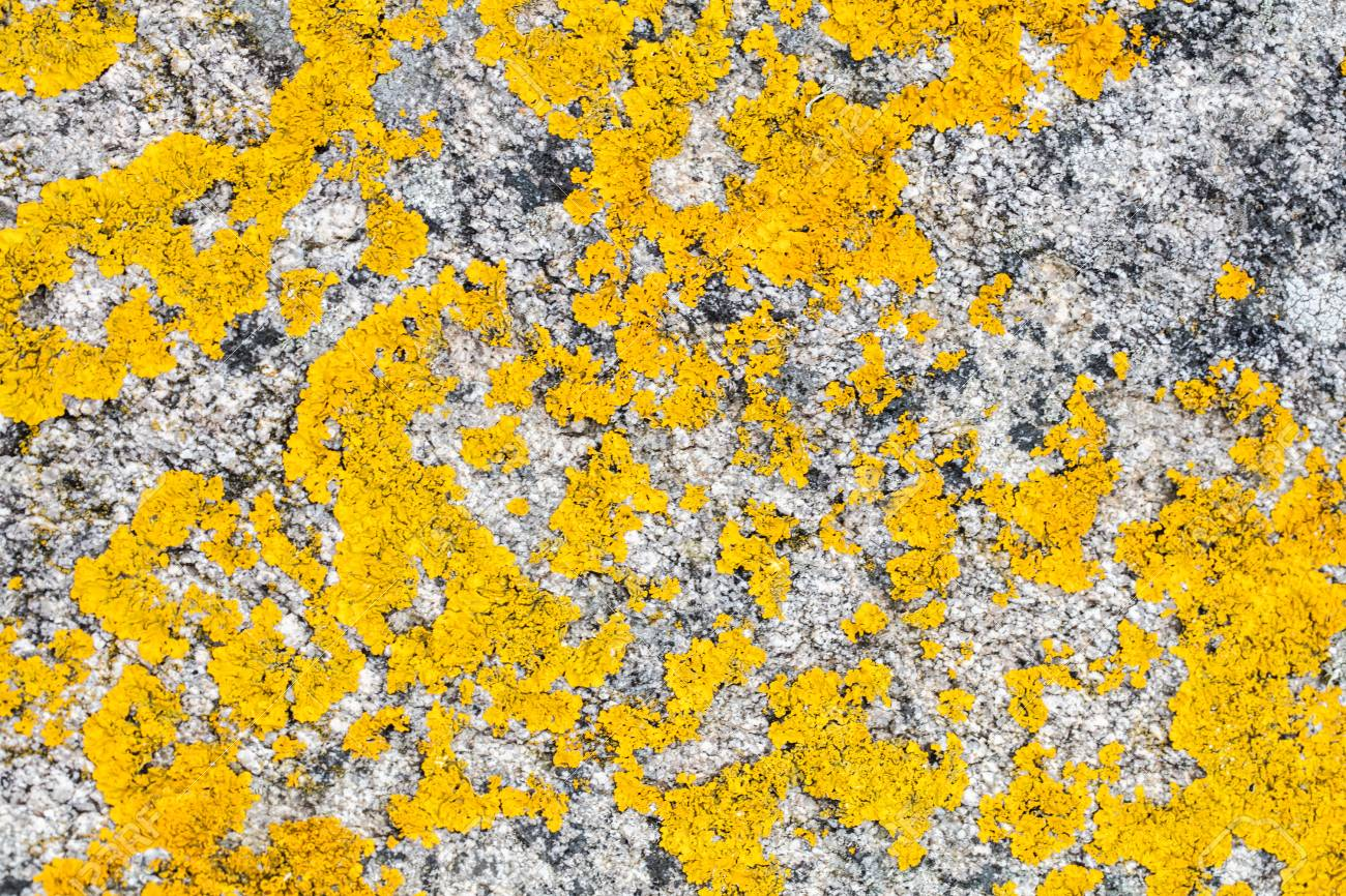 Papier Peint Jaune Moutarde lichen de couleur jaune moutarde sur un rocher de granit gris près de  l'océan pour un papier peint à la mode ou des détails de texture naturelle