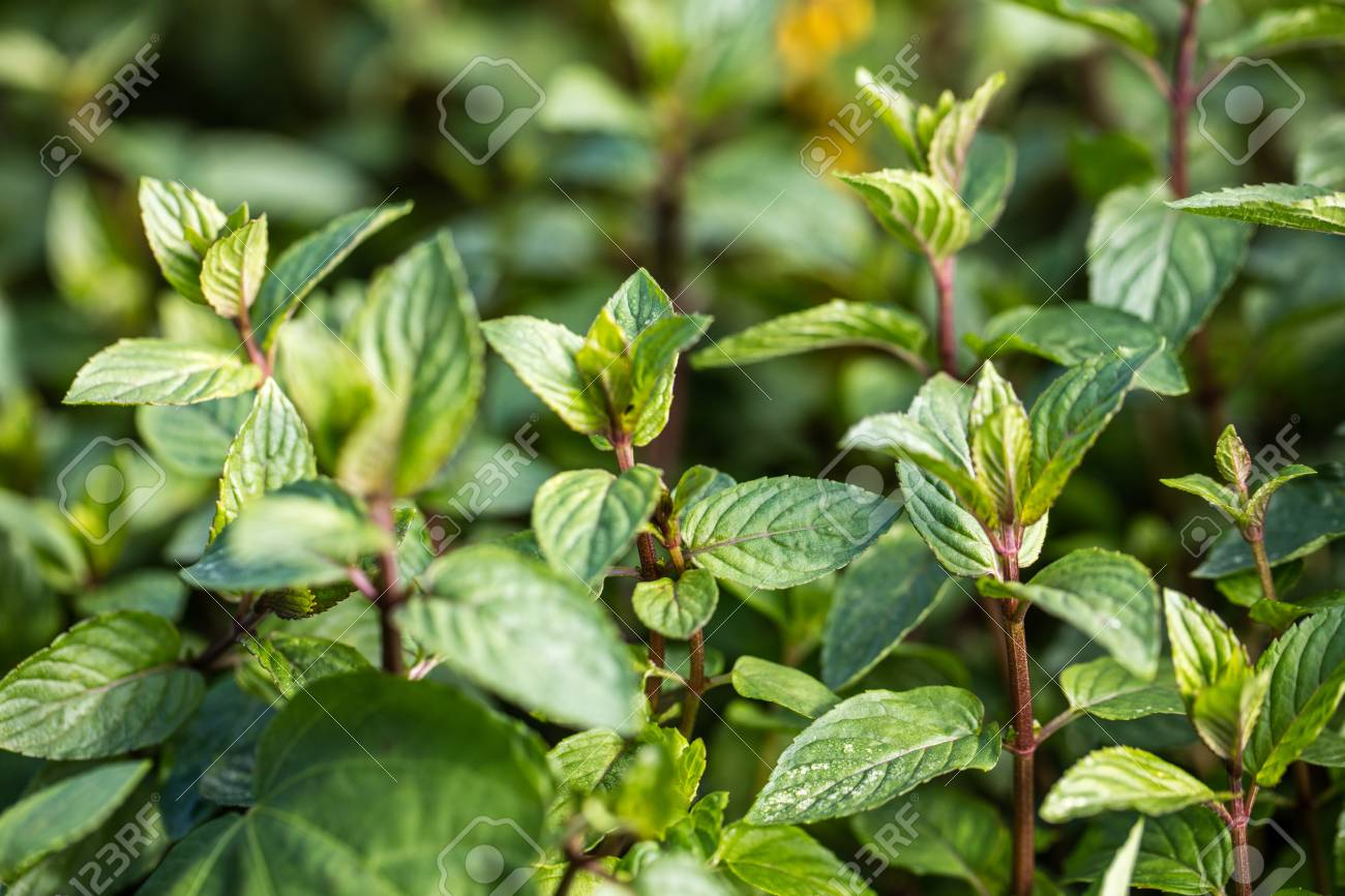 Aromatic Mint Buds And Stems In Perennial Garden With Green Blurred Background For Their Fresh Foliage