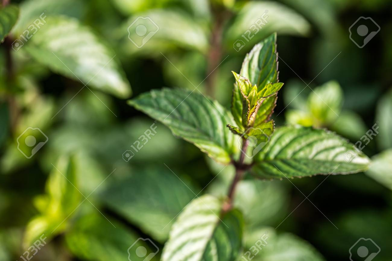 Closeup Of Mint Bud From The Family Aromatic Plants In Perennial Garden For Its Natural