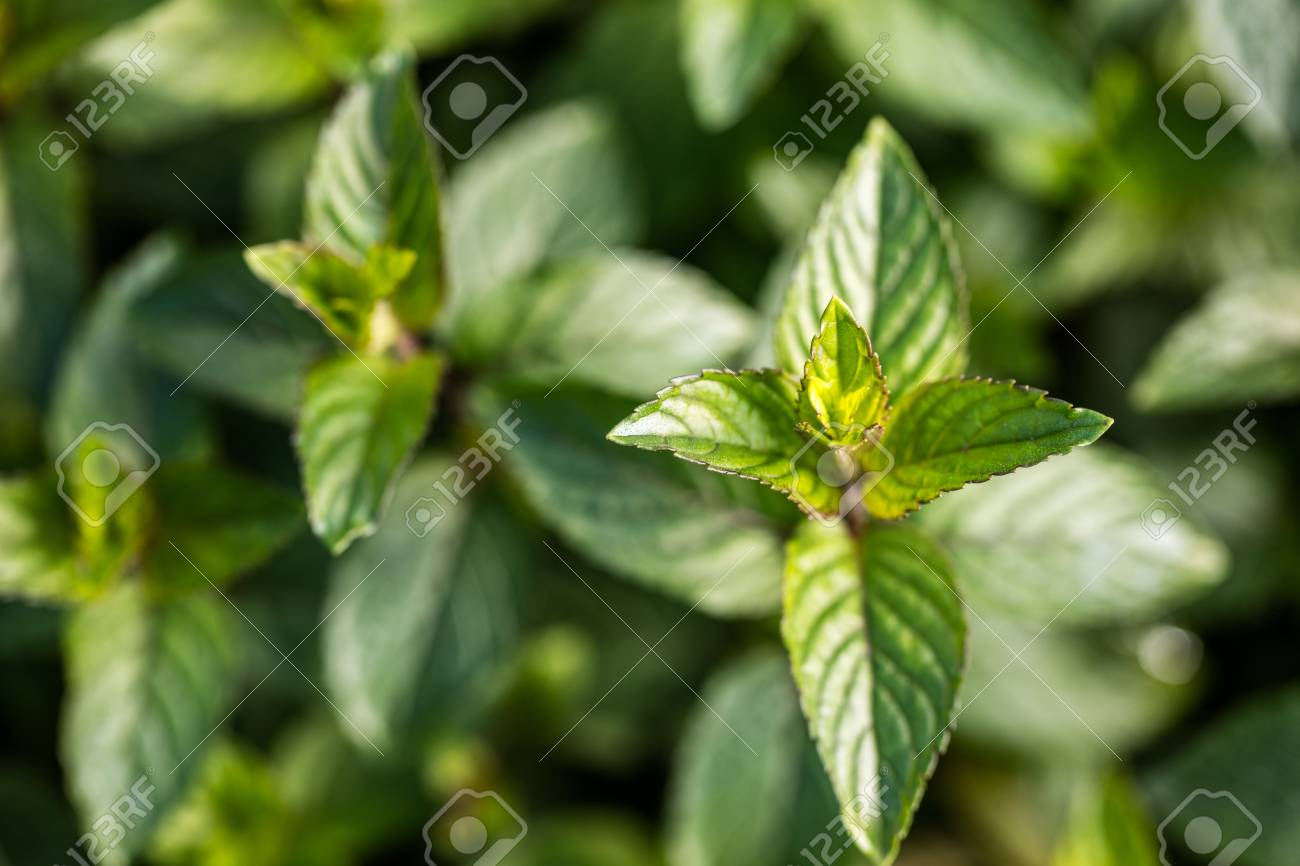 Chocolate Mint Bud In Closeup From The Family Of Aromatic Plants Perennial Garden For Their