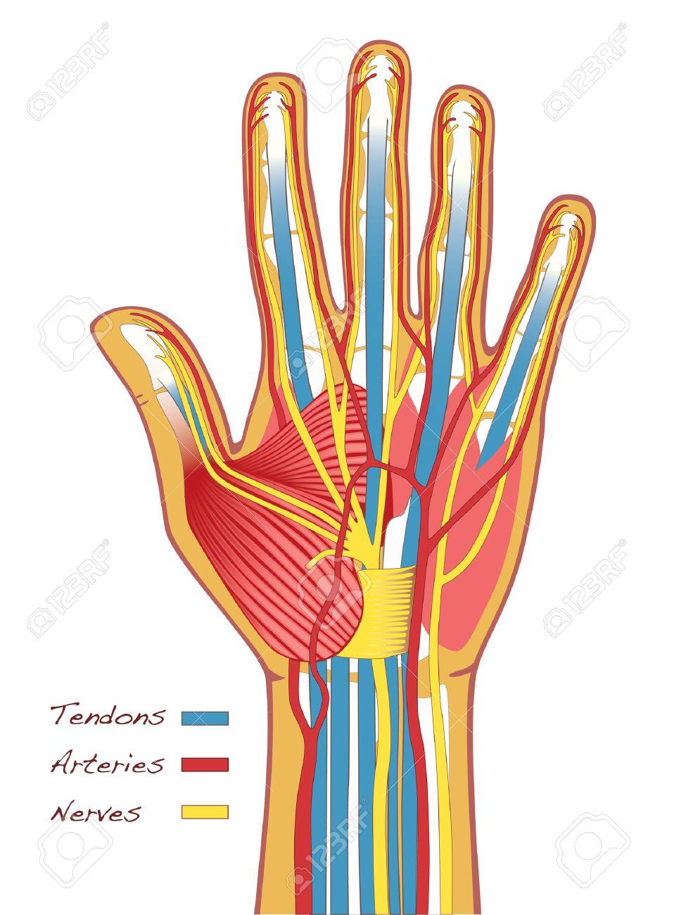 La Anatomía Manos Humanas Con Tendones, Arterias Y Nervios ...