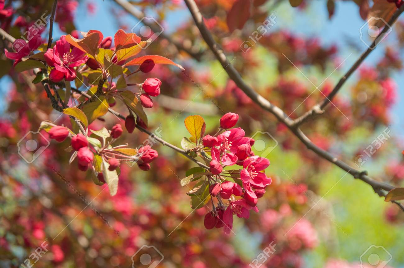 Crab Apple Tree Blossoms In The Morning Light Flowering Tree