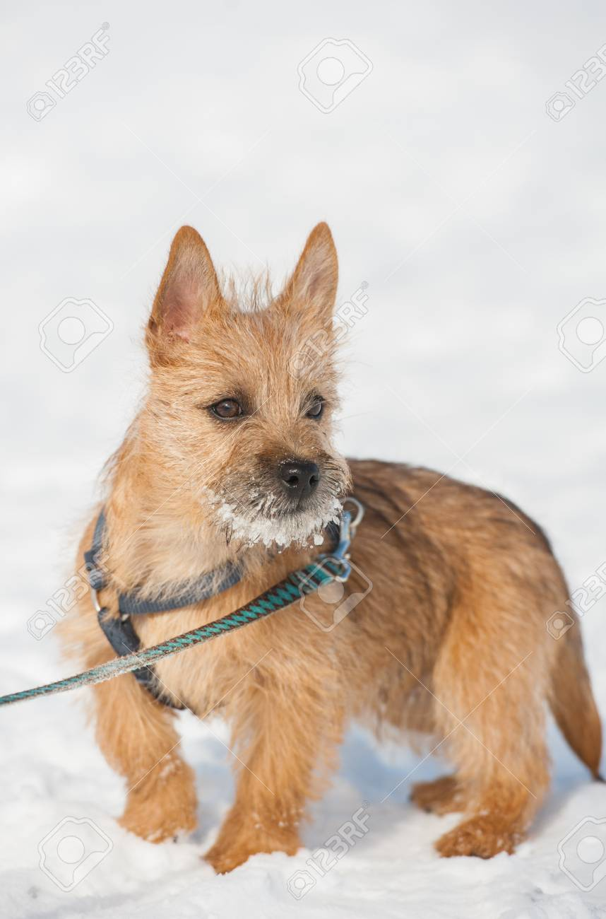 Cute Cairn Terrier puppy playing outside in cold winter snow