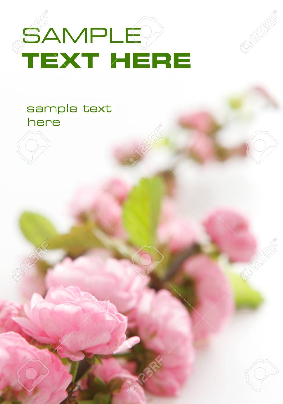 Pink flowers on a white background Stock Photo - 13272047