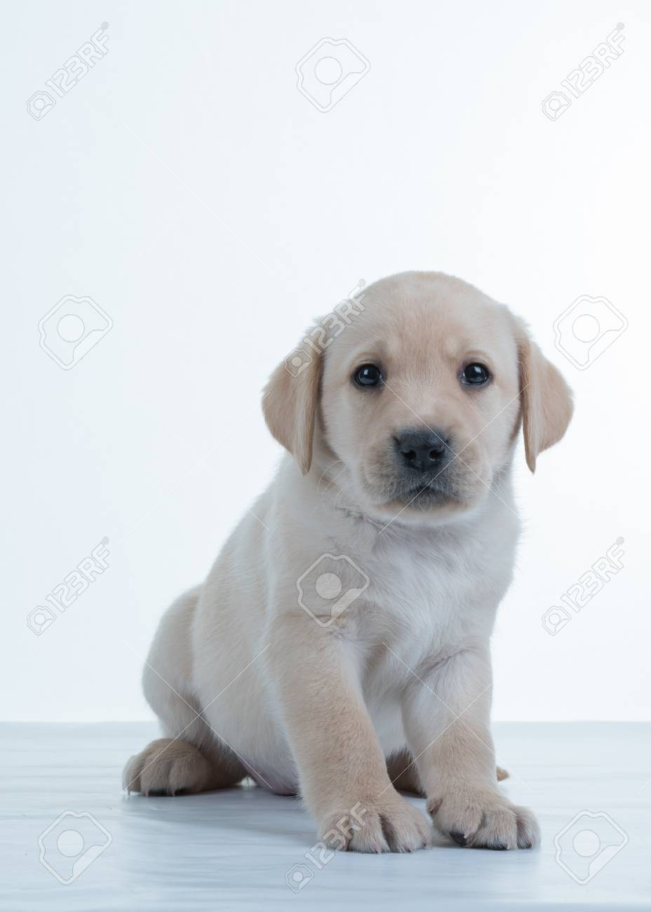 Archivio Fotografico , Cucciolo di Labrador su sfondo bianco. Il Labrador  Retriever, anche Labrador, è un tipo di cane da riporto.