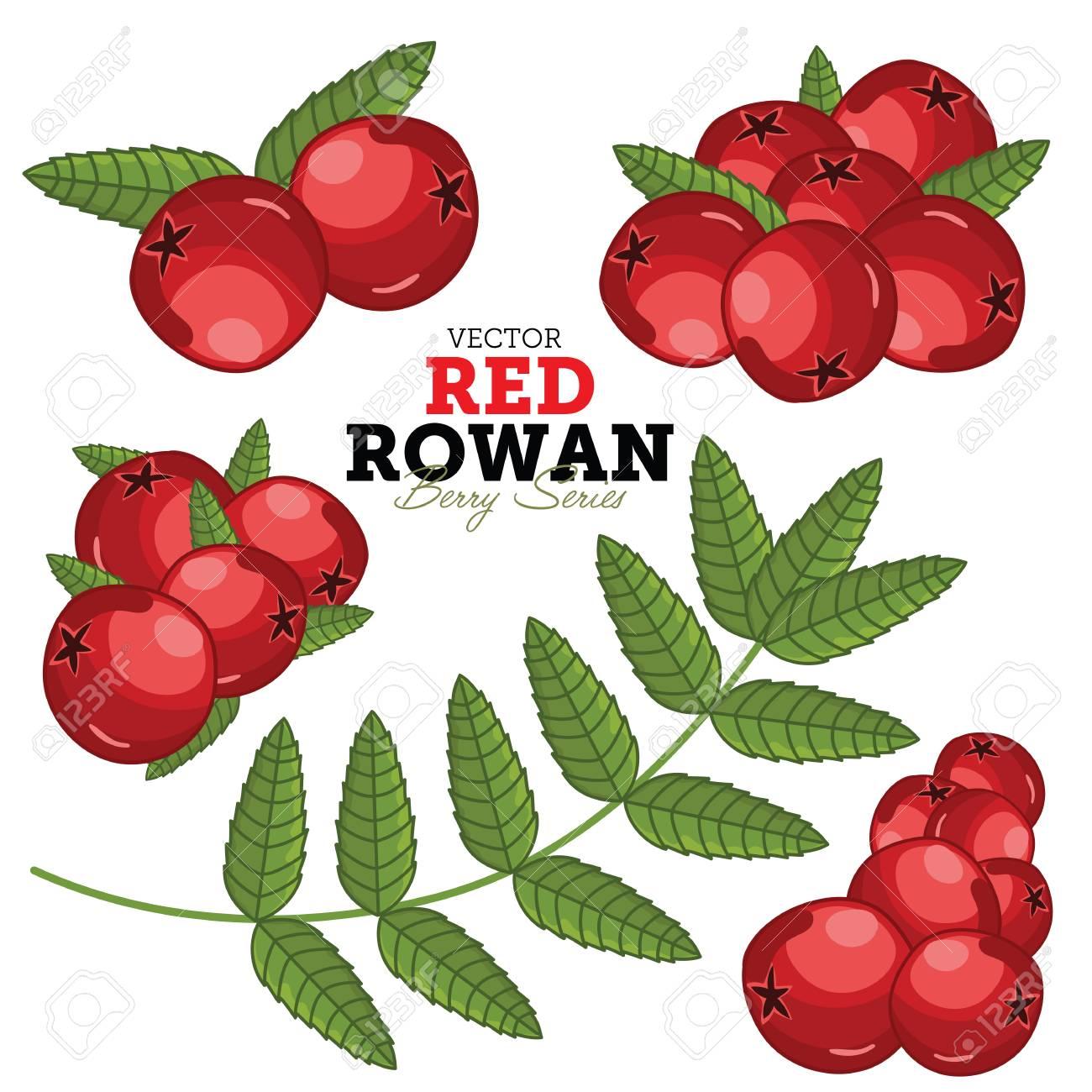 Rowan Compositions, Rowan Leaves, Rowan Vector, Cartoon illustration of Rowan. Rowan Isolated on White Background. Bunch of Juicy Rowan Berries. - 50794408