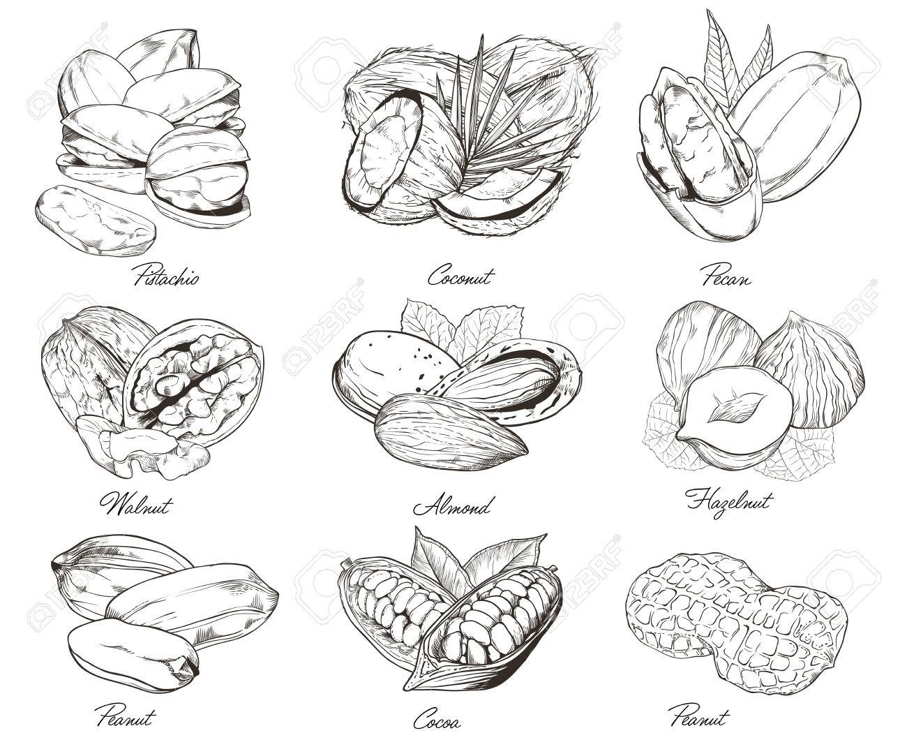 isolated nuts on white background engraved vector illustration