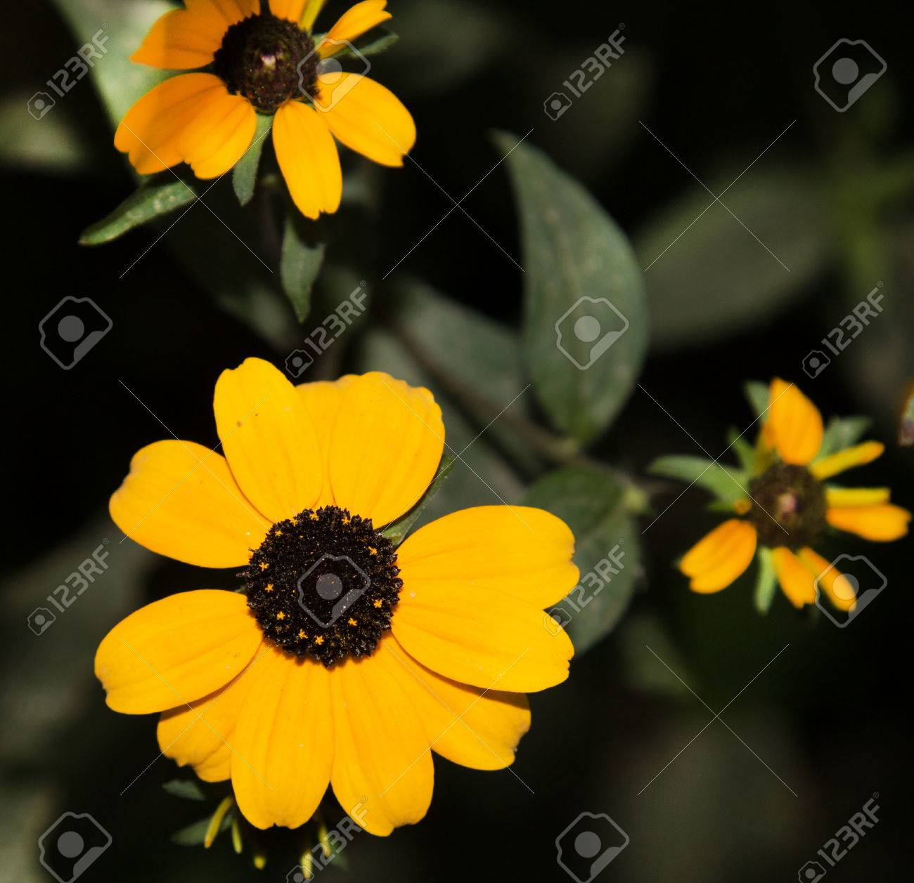 Yellow flowers with black center stock photo picture and royalty stock photo yellow flowers with black center mightylinksfo