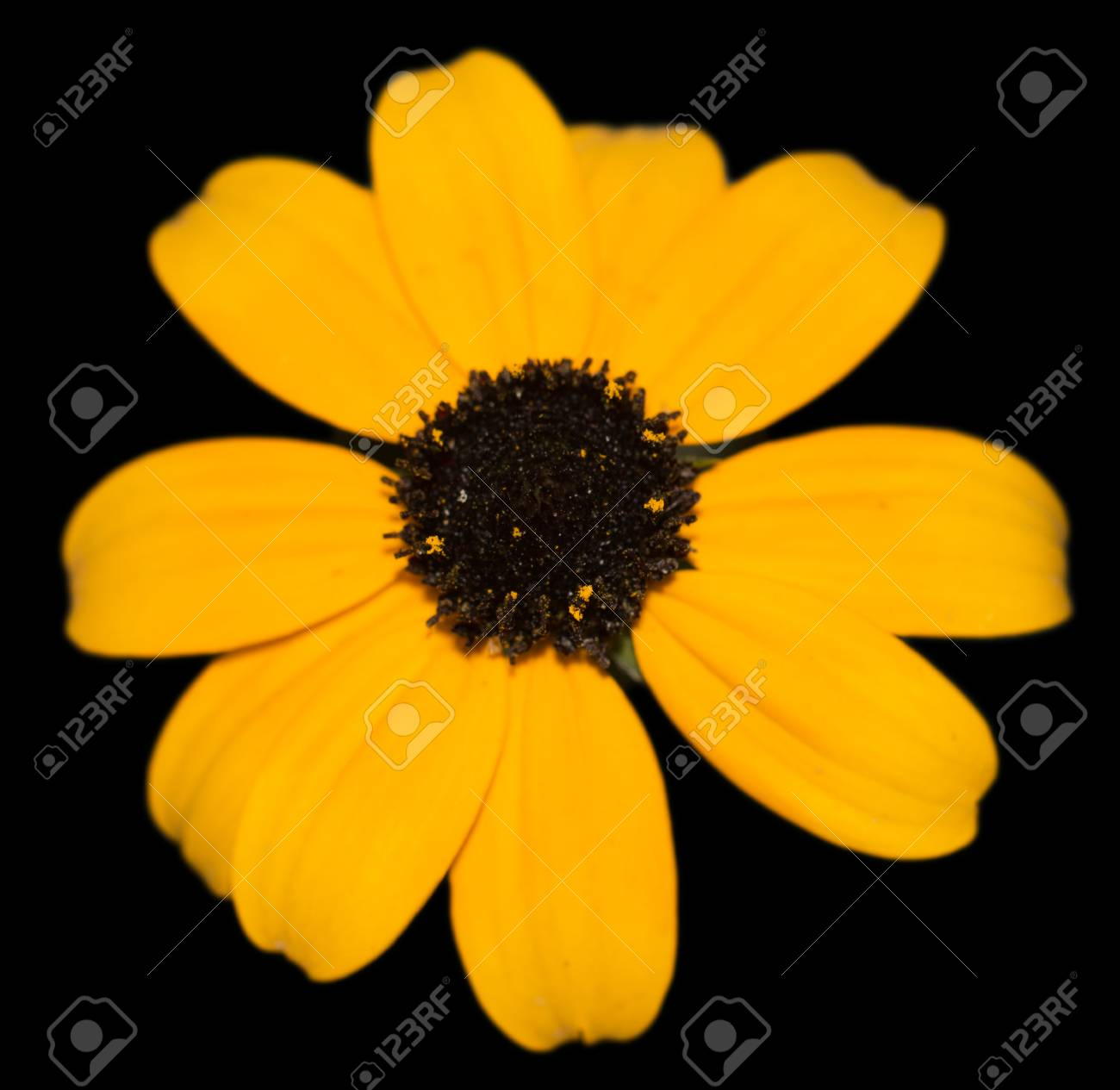 Yellow flower with black center close up stock photo picture and stock photo yellow flower with black center close up mightylinksfo