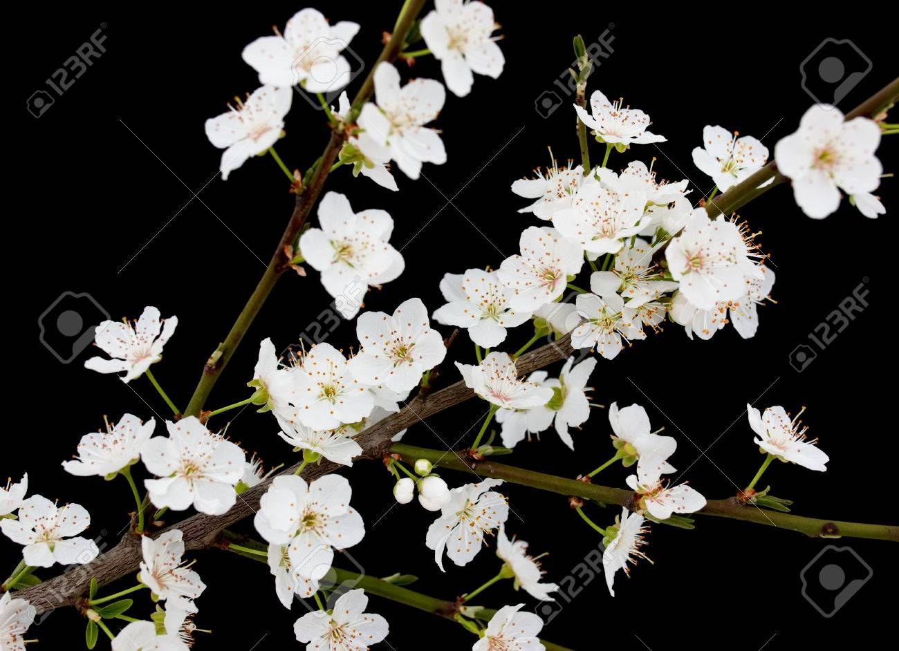 Small White Flowers On A Branch On A Black Background Stock Photo