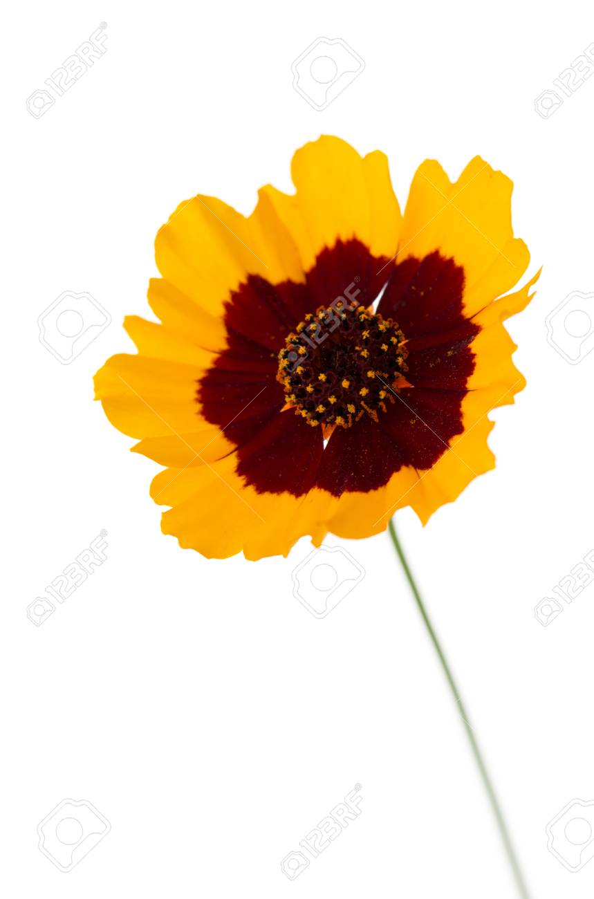 Yellow flower with red center on a white background stock photo yellow flower with red center on a white background stock photo 81716498 mightylinksfo