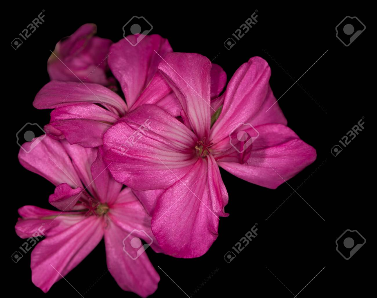 Pink Geranium Flower On A Black Background Stock Photo Picture And