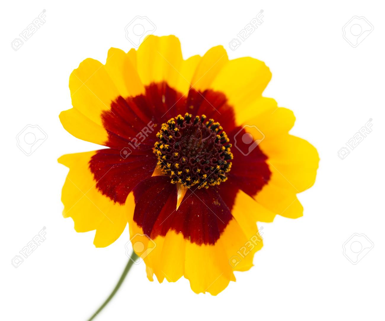Yellow flower with red center stock photo picture and royalty free stock photo yellow flower with red center mightylinksfo