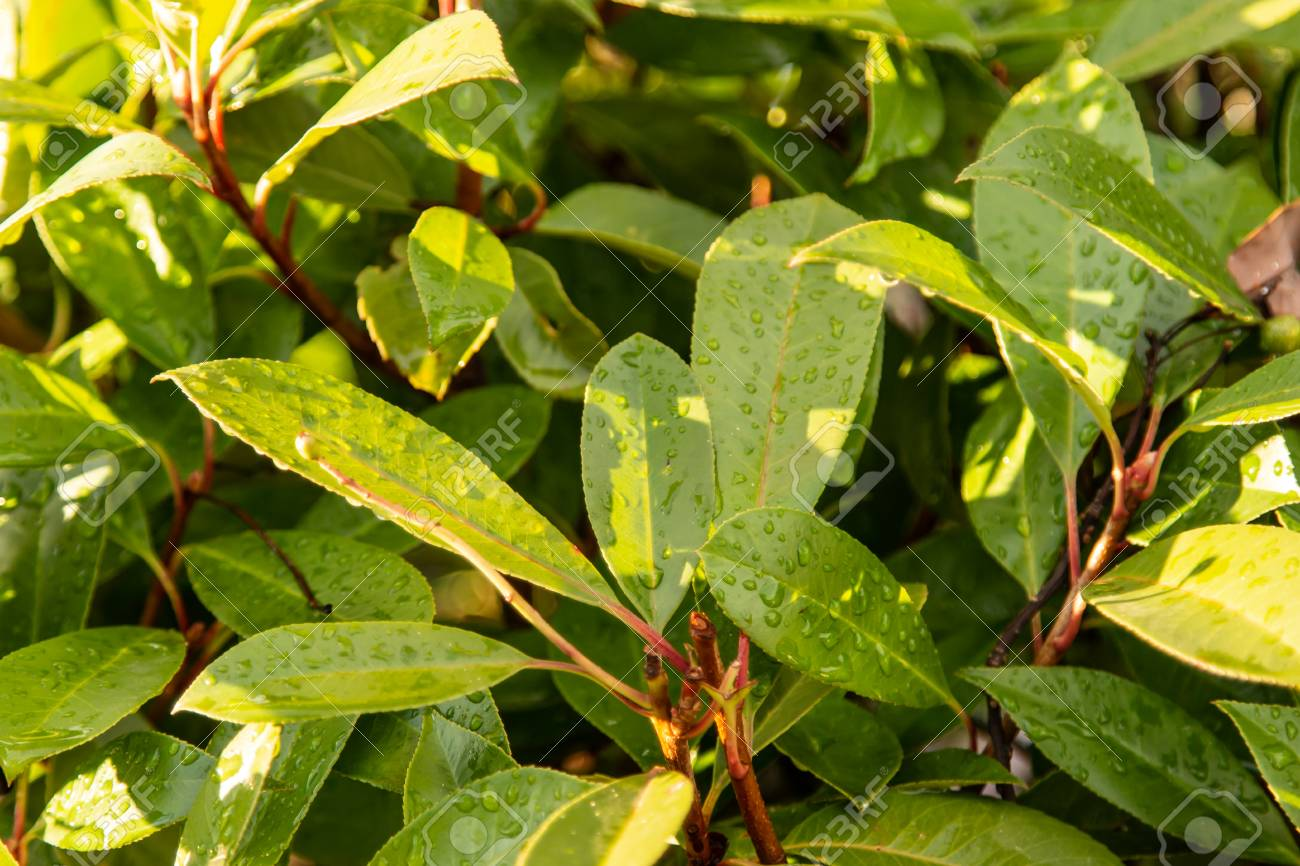 Leaves Of A Magnolia Tree As A Background Stock Photo Picture And