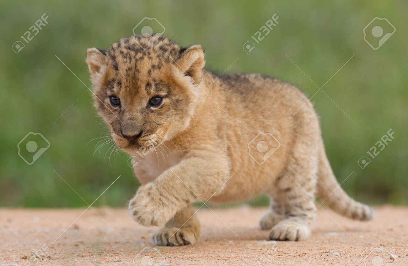 small lion cub panthera leo in south africa stock photo picture