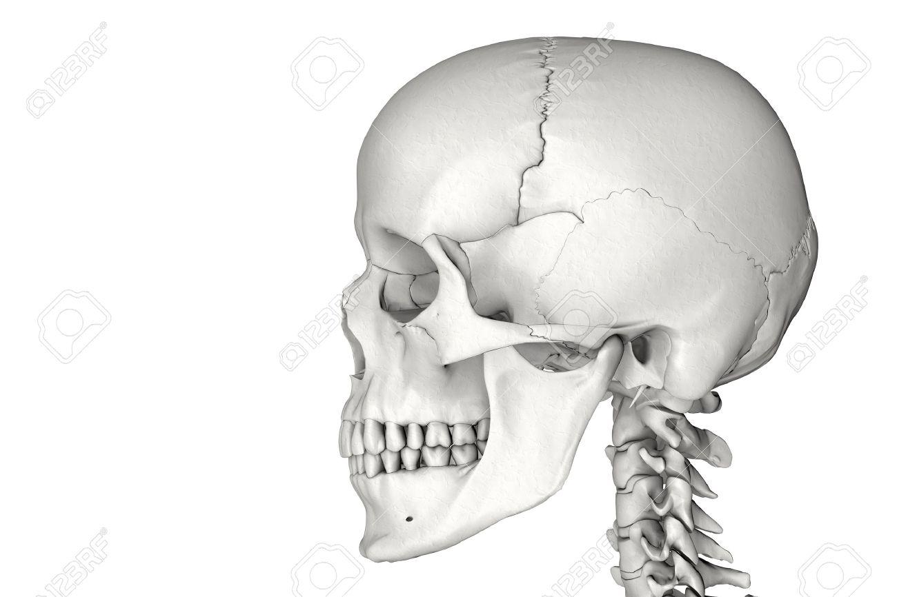 Anatómicamente Correcta Cráneo Humano Masculino En 3D Fotos ...