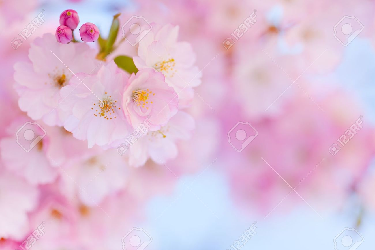 Bright pink cherry blossom background with light blue sky stock bright pink cherry blossom background with light blue sky stock photo 13454954 mightylinksfo