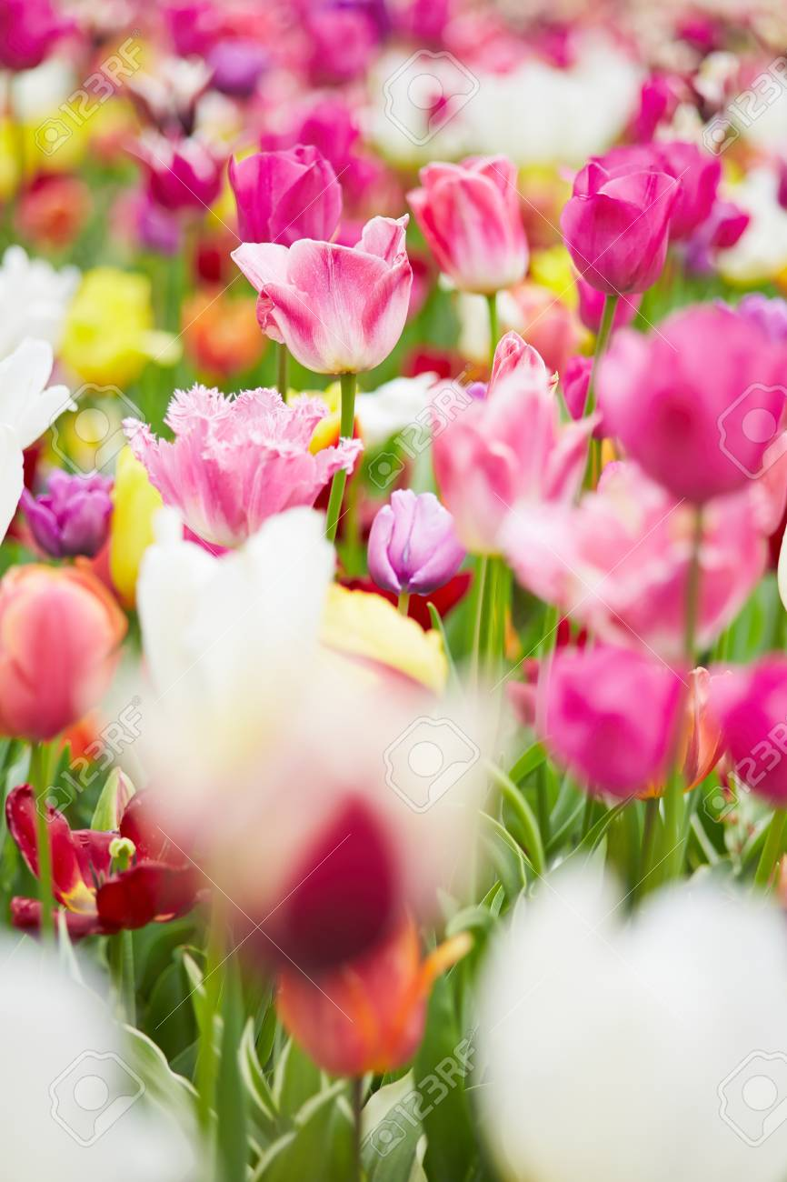 Many pink tulips blooming in a spring garden Stock Photo - 19914569