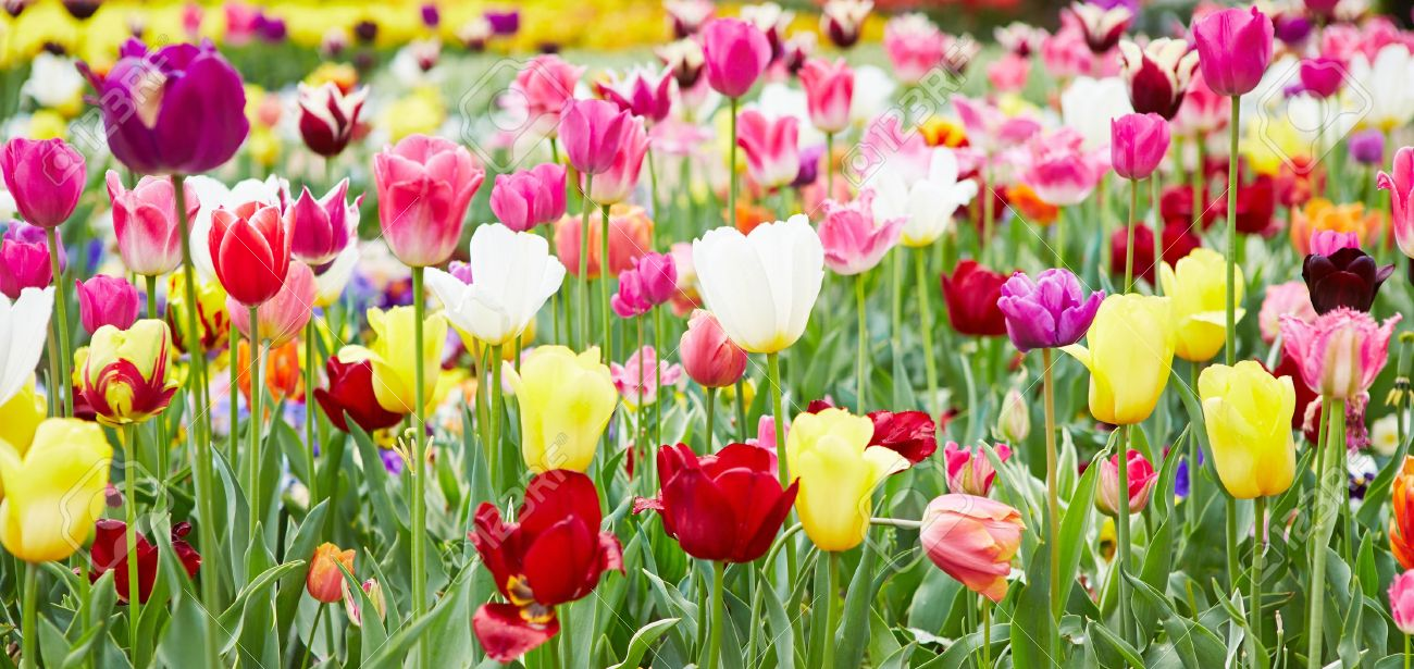 Different flowers and blooming tulips in panorama format Stock Photo - 20233951