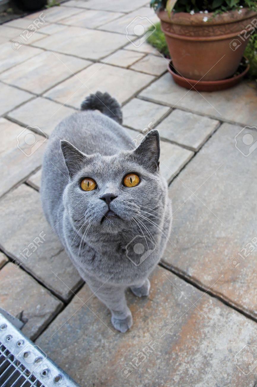 Curious gray cat - British Shorthair Stock Photo - 16526012