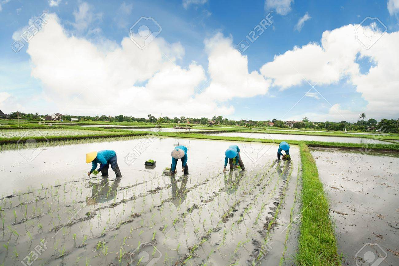 Balinese female farmers planting rice by hands. - 19523509