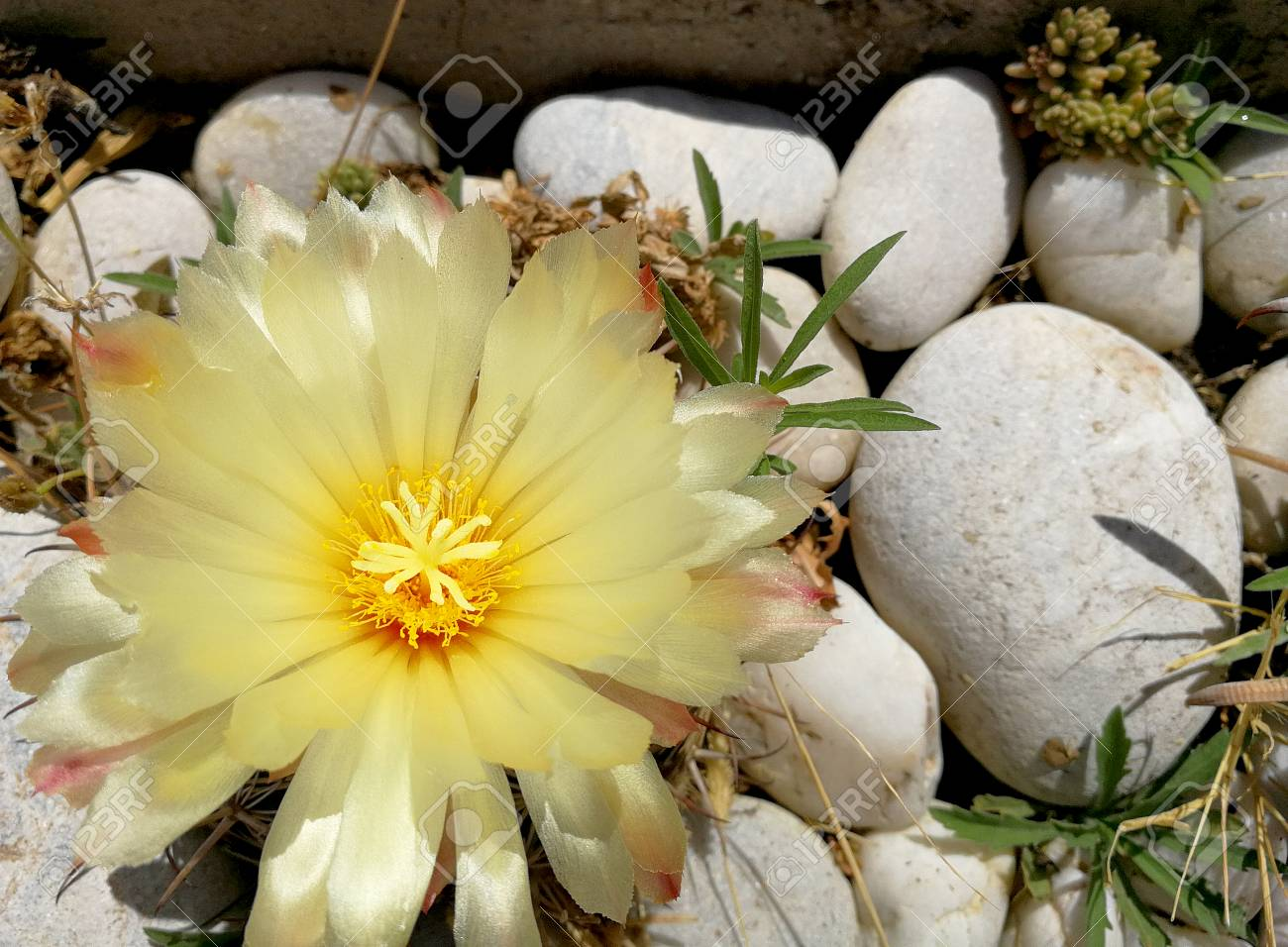 Yellow Cactus Flower Stock Photo Picture And Royalty Free Image