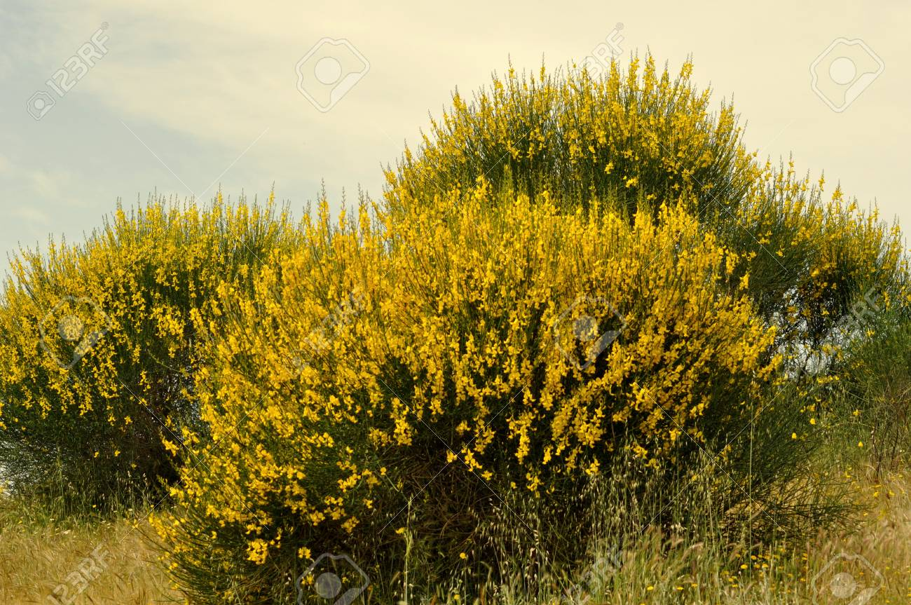 Broom Bushes With Yellow Flowers Stock Photo Picture And Royalty