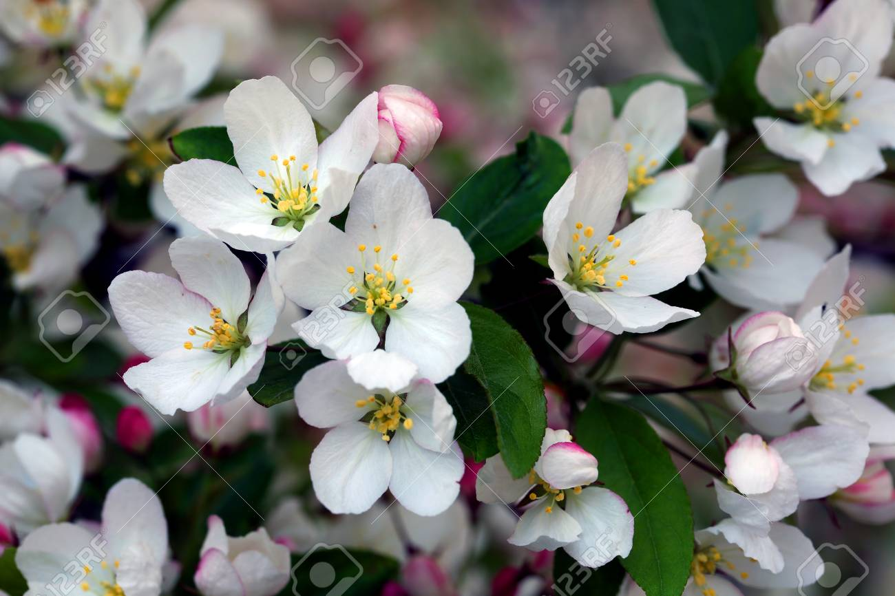 Flowering crab apple tree with white and pink petals stock photo flowering crab apple tree with white and pink petals stock photo 76412774 mightylinksfo