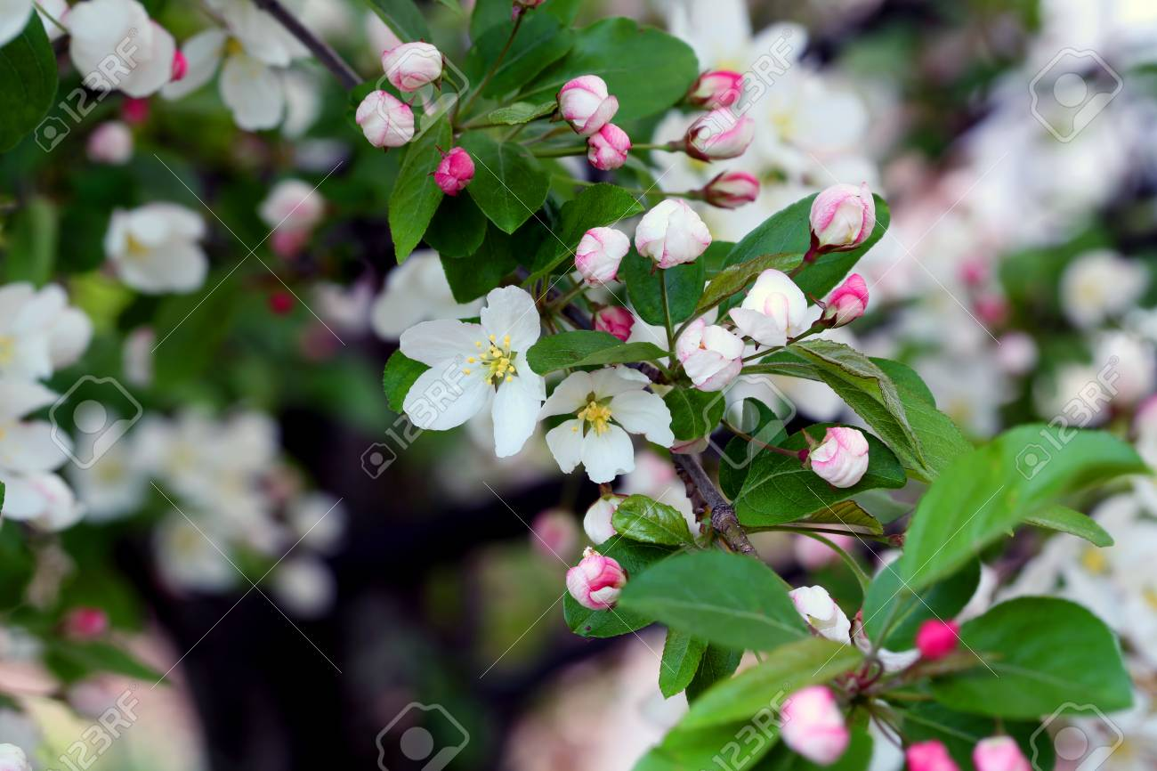 Flowering crab apple tree with white and pink petals stock photo flowering crab apple tree with white and pink petals stock photo 76368091 mightylinksfo