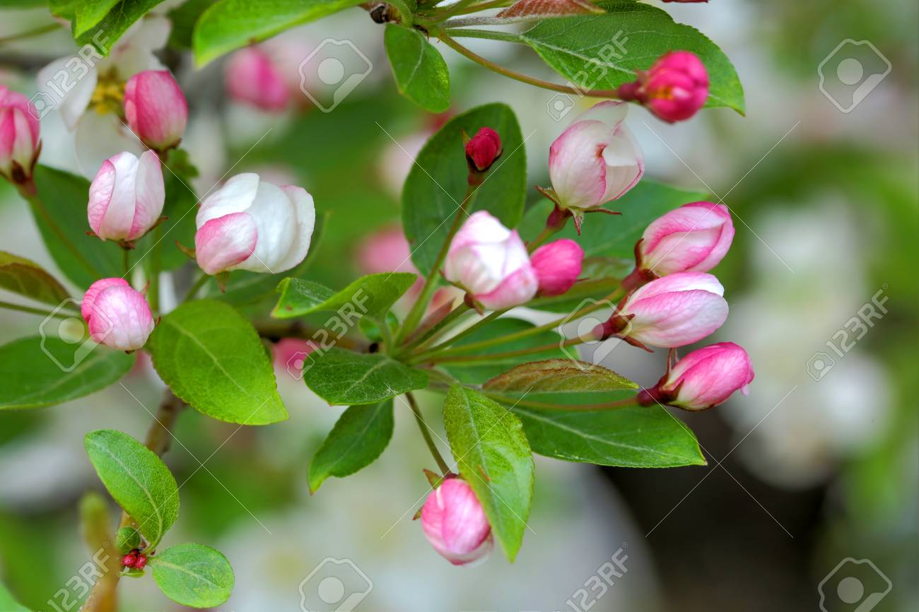 Flowering crab apple tree with white and pink petals stock photo flowering crab apple tree with white and pink petals stock photo 76302351 mightylinksfo