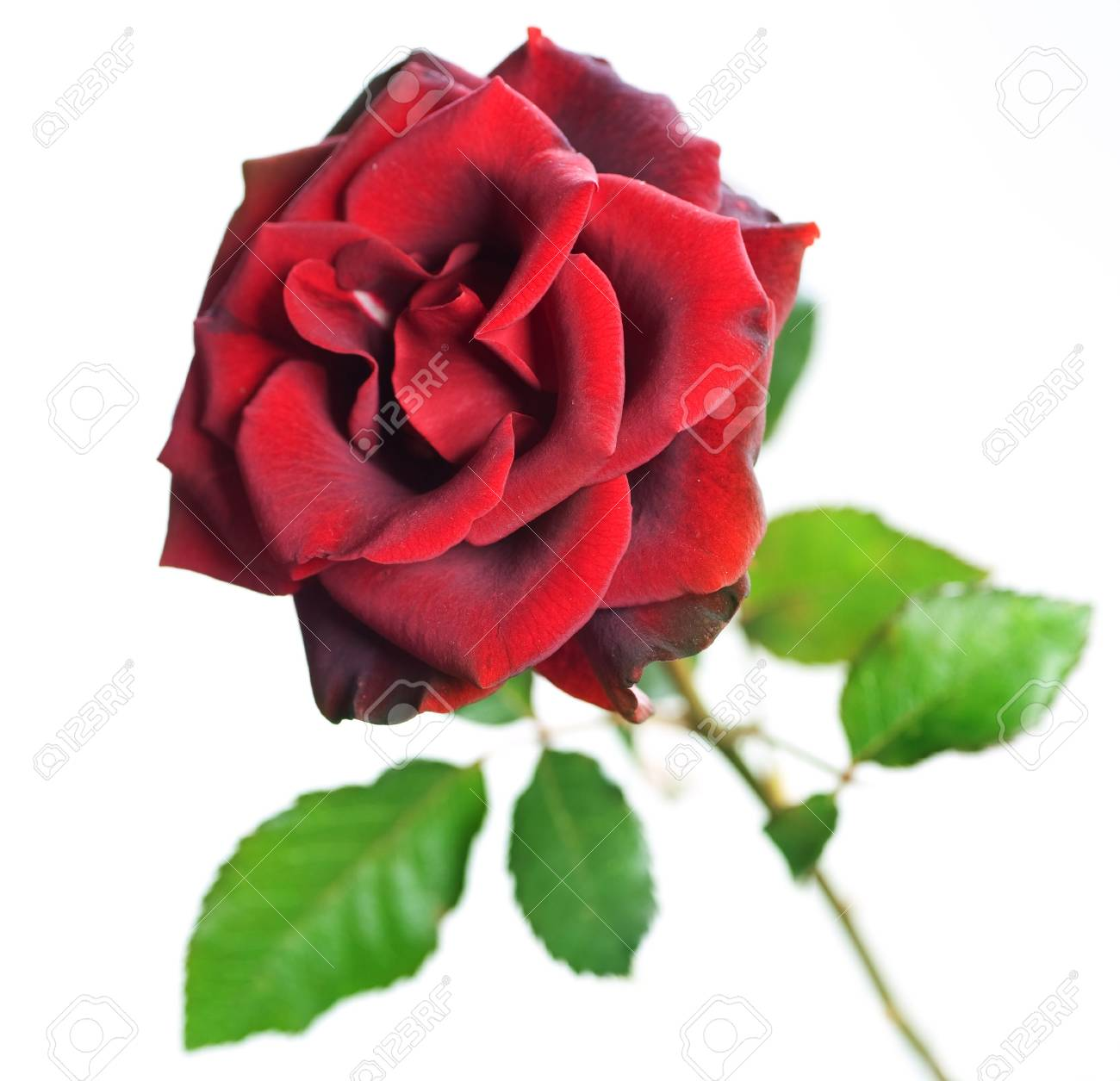Beautiful Red Rose isolated on white Stock Photo - 7815181