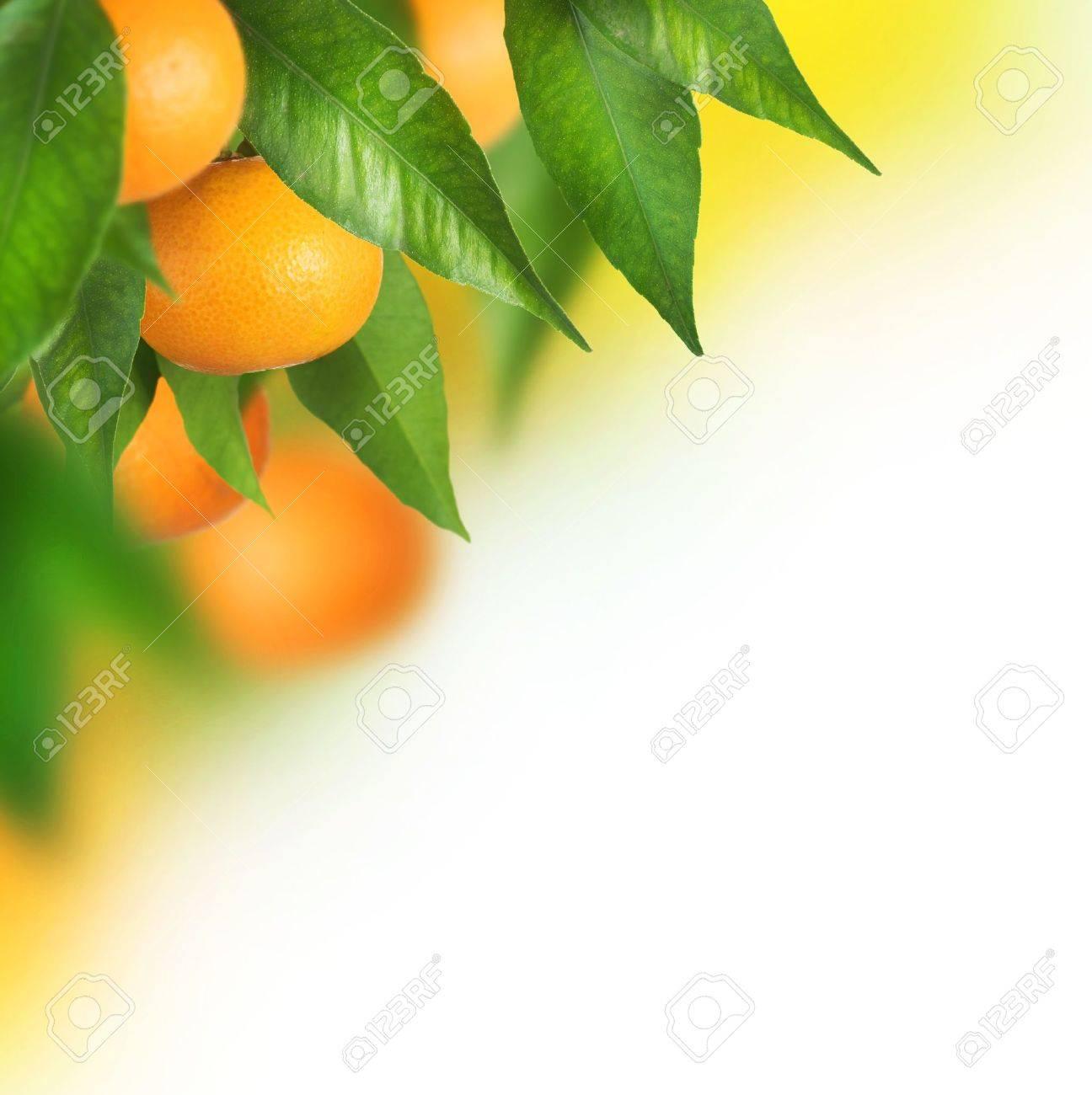Ripe Tangerines growing.Border design Stock Photo - 9082693
