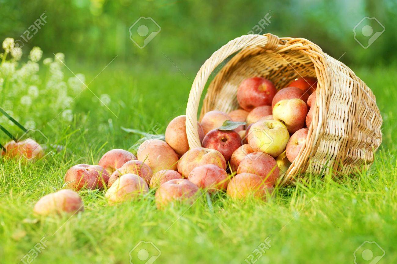 Healthy Organic Apples in the Basket Stock Photo - 9368951