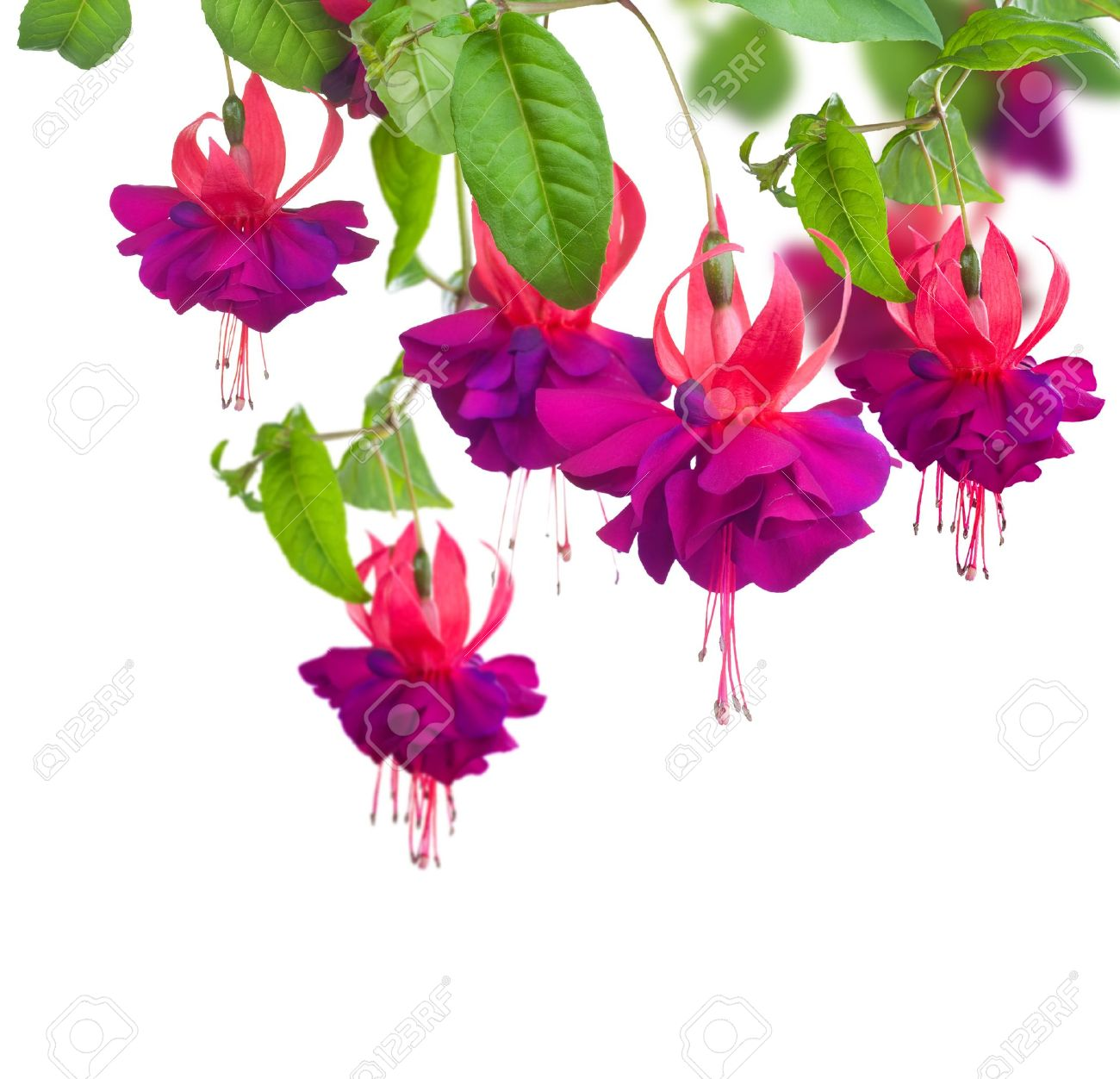 Fuchsia flowers Stock Photo - 9722601