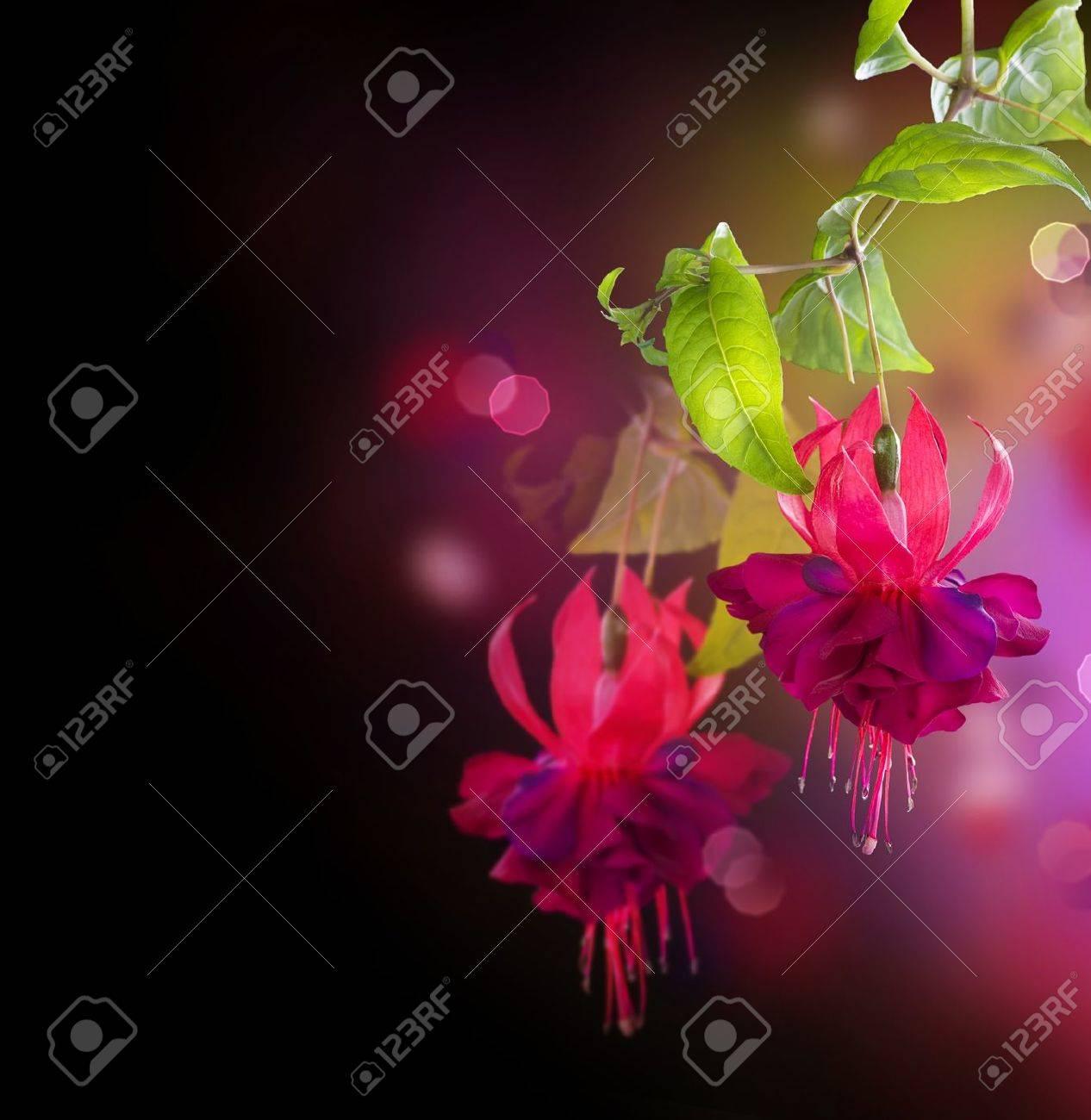 Fuchsia flowers over black Stock Photo - 9722610