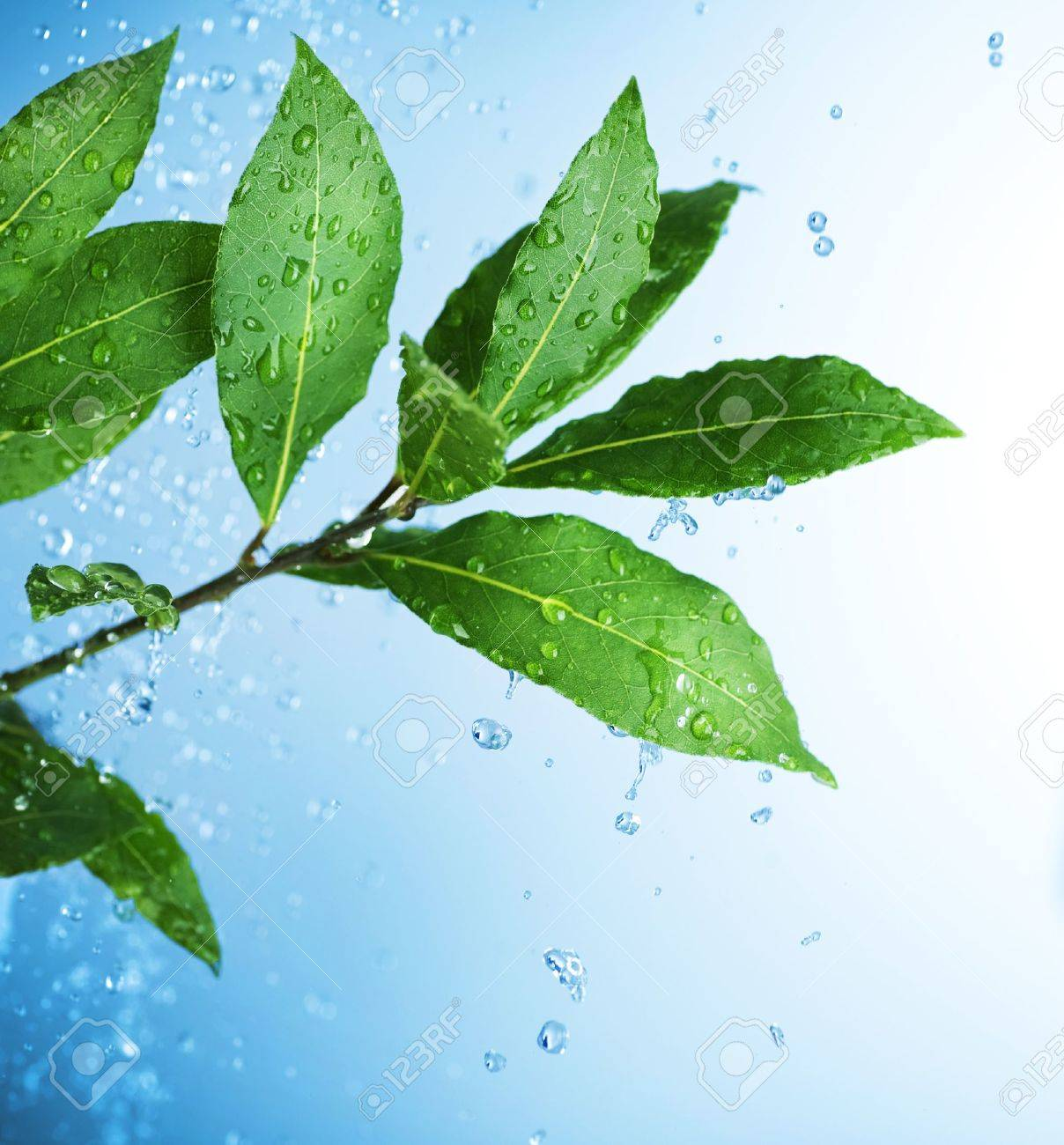 Beautiful Fresh Leaves with Water drops Stock Photo - 10081328