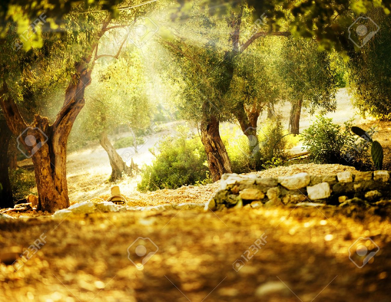 Olive Trees Stock Photo - 10688962