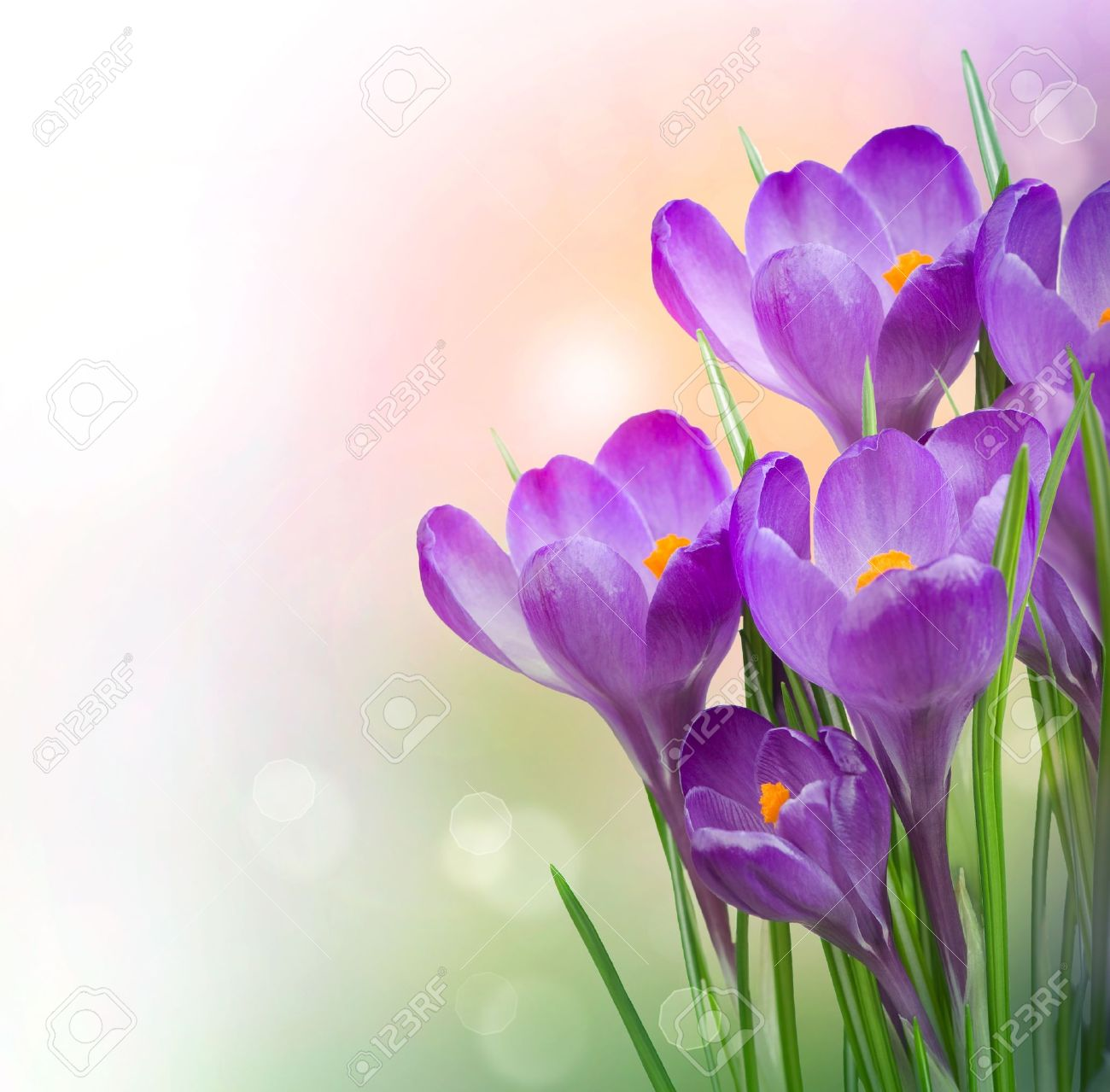 crocus spring flowers stock photo picture and royalty free image
