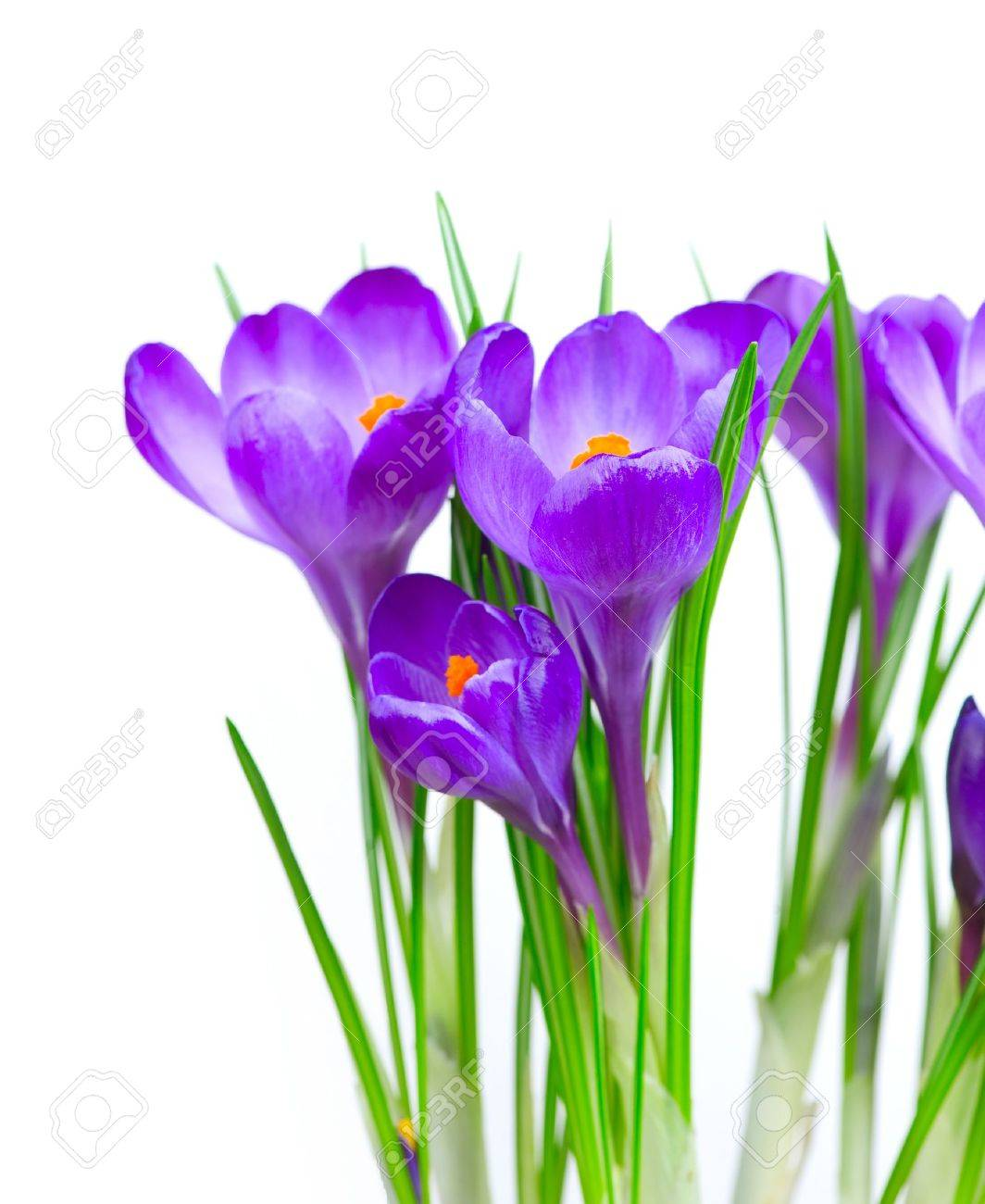 Crocus spring flowers stock photo picture and royalty free image crocus spring flowers stock photo 13064642 mightylinksfo
