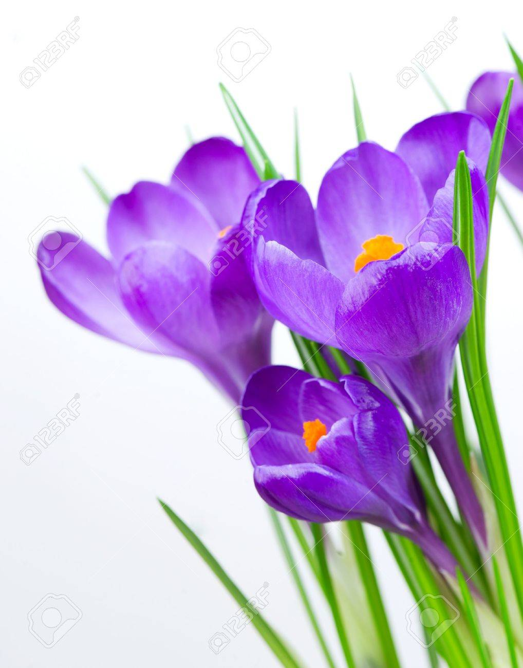 Crocus spring flowers isolated on white stock photo picture and crocus spring flowers isolated on white stock photo 13064644 mightylinksfo