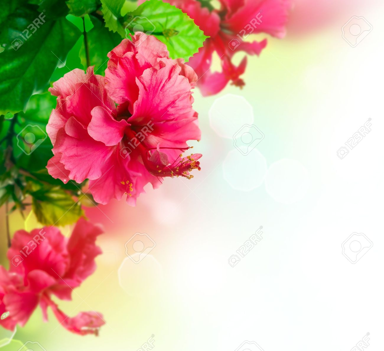 Hibiscus Flower Border Design Over White Stock Photo Picture And